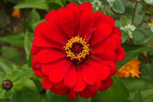 a bright red zinnia with a yellow center
