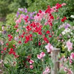 sweet peas are one of the cut flowers you can easily start from seed!
