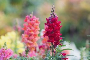Snap dragons are an old fasioned cottage flowers that compliments the cutting garden!