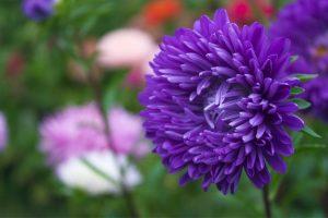 a purple aster in full bloom