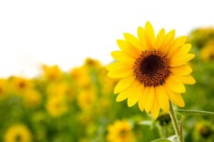 a bright yellow sunflower in a garden bed