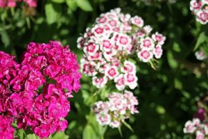 pink and white sweet william flower blossoms
