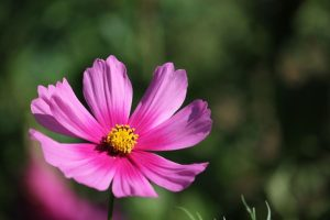 a soft pink cosmos with a yellow center