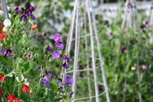 a flower garden with a display of purple sweet peas