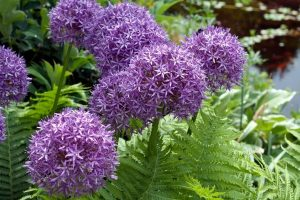 purple alliums blossoming among the ferns
