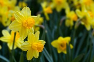 cheery yellow daffodils are an excellent choice for your spring cutting garden!