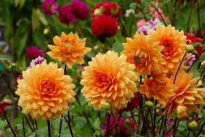 orange and red dahlias are one of the bulbs you can grow in your cutting garden!