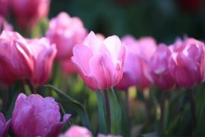 Soft white and pink tulip petals in full bloom