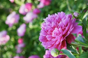 A soft pink peony in full bloom made a beautiful addition to the cutting garden!