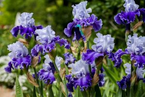 Purple irises are one of the flower bulbs you can grow in your cutting garden!