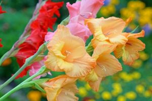 Peach colored gladiolas are stunning flowers for the perennial cutting garden!