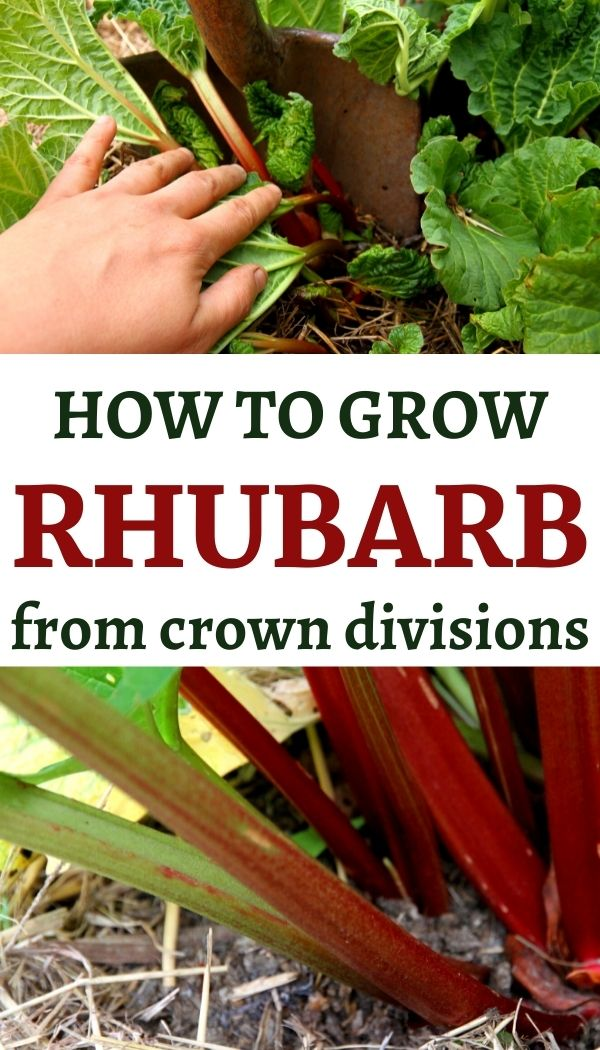Learn to how to grow rhubarb by dividing crowns from a parent plant