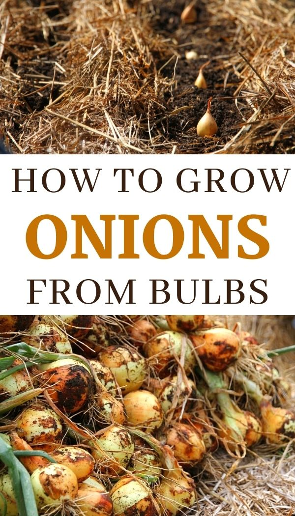 Growing onions from onions: tutorial and video