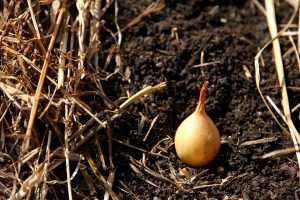 a single onion set, ready to be planted in the garden