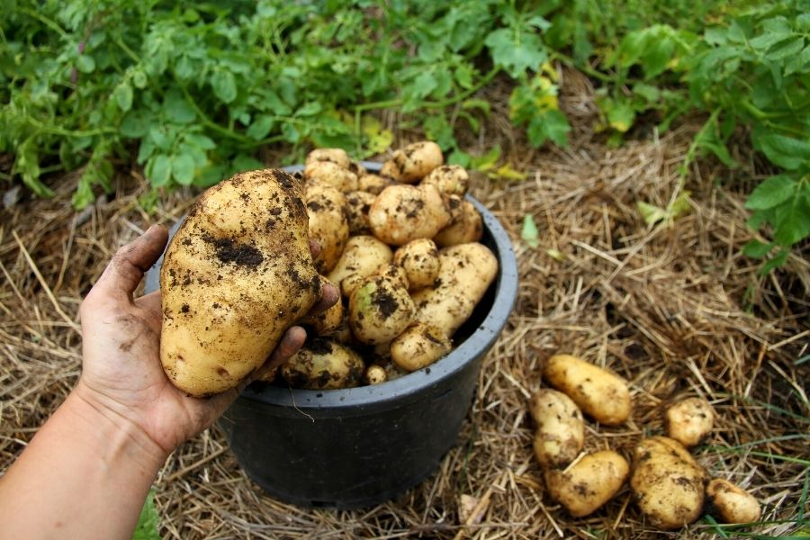 A pail of yellow potatoes, freshly harvested from the garden
