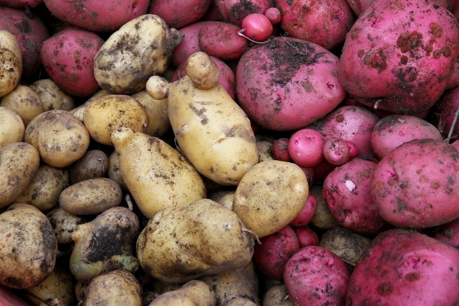 red and yellow potatoes, freshly harvested