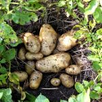 A batch of early, freshly dug potatoes ready for the kitchen and a meal