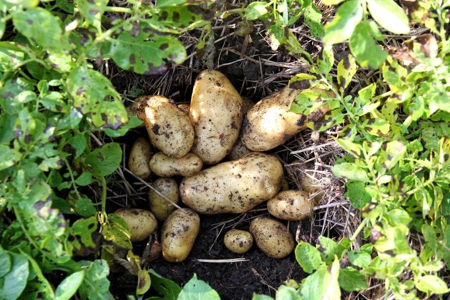 The Easy Way to Grow Potatoes at Home