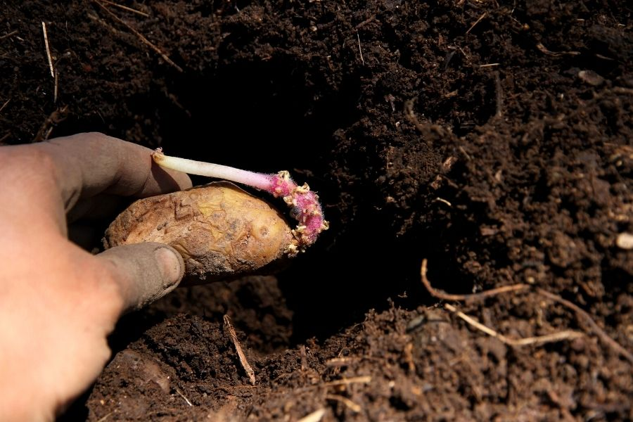 holding a seed potato, ready to drop it in the planting hole
