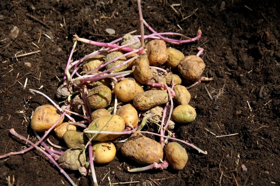 a pile of seed potatoes, ready for planting