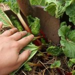 digging into a rhubarb plant with a shovel
