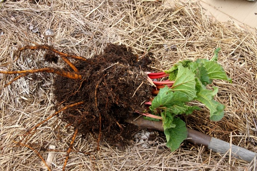 a dug-up root clump of young spring rhubarb