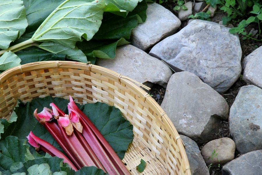 A basket of rhubarb stalks, ready to be used in the kitchen!