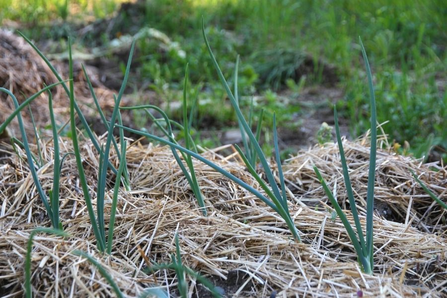 Tender young green onion seedlings growing in the garden