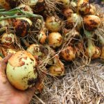 Here are yellow spanish winter onions that will be winter storage onions