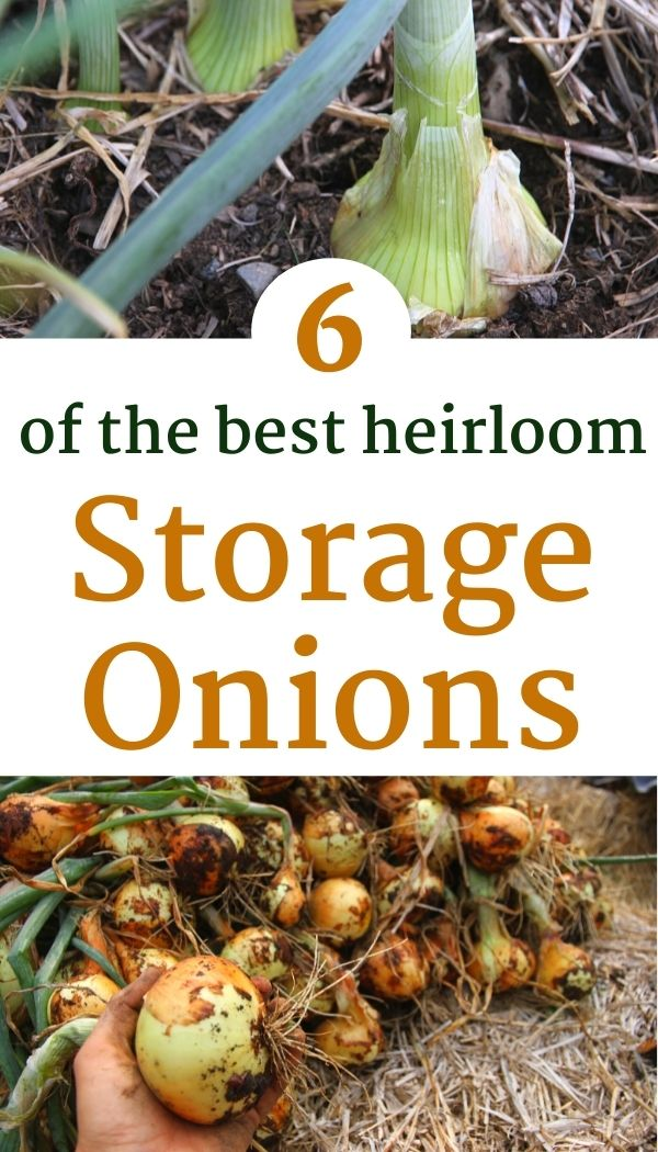 Discover the best storage onions and how to store onions from the garden