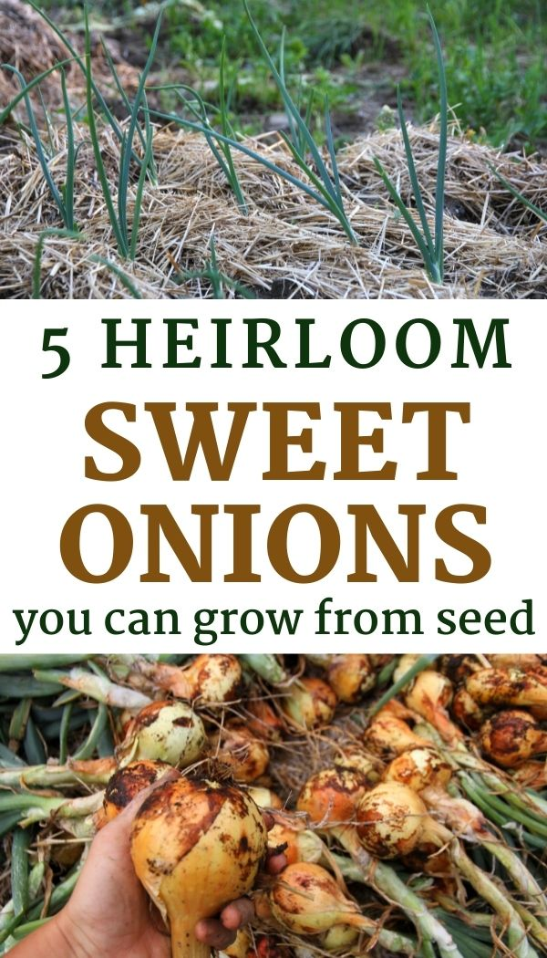 Discover how to grow sweet onions from seed for a summer harvest!