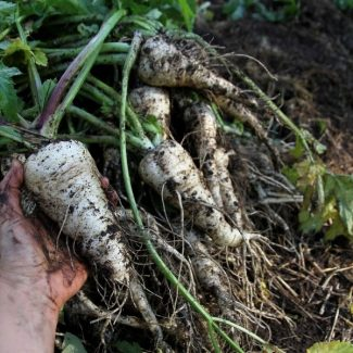 Learn how to store root vegetables over winter without a root cellar